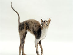 blue cream cornish rex female arches her back