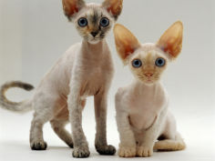 female tortoiseshell and red devon si rex kittens