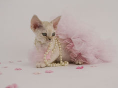 wide wallpaper devon rex