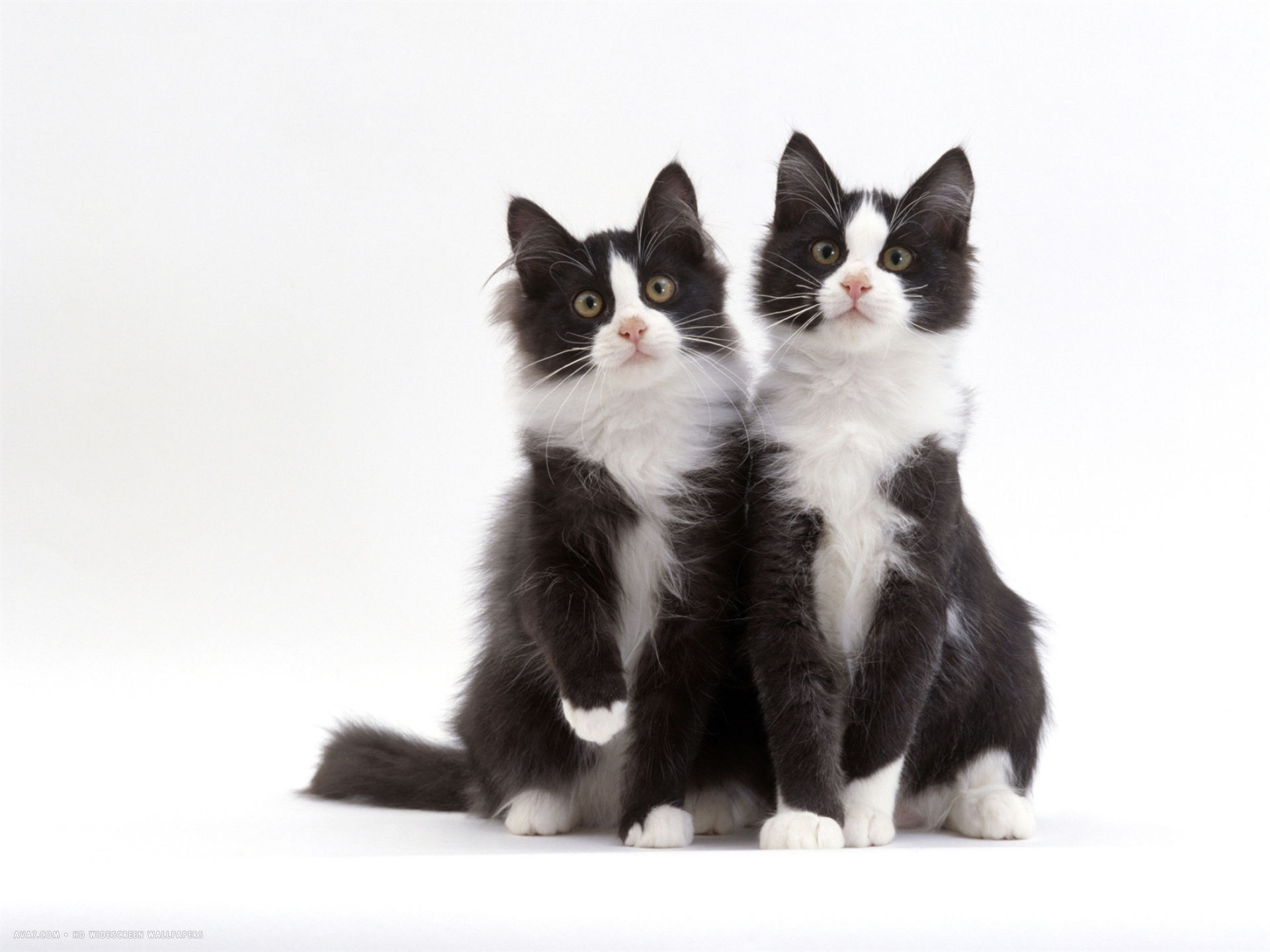 12 week identical brothers black and white kittens