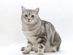 4 year silver tabby male kitten