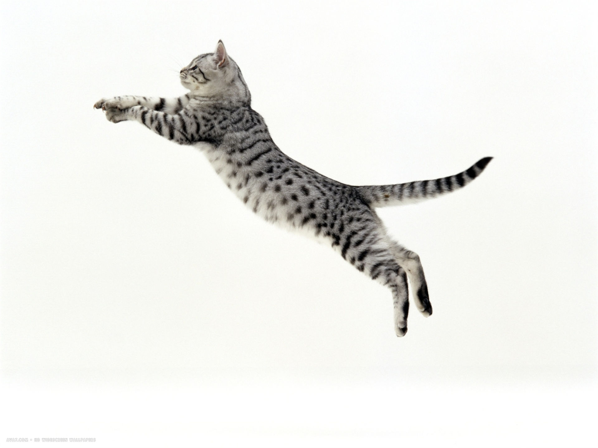 5 month silver spotted shorthair male jumping at full stretch back hollow