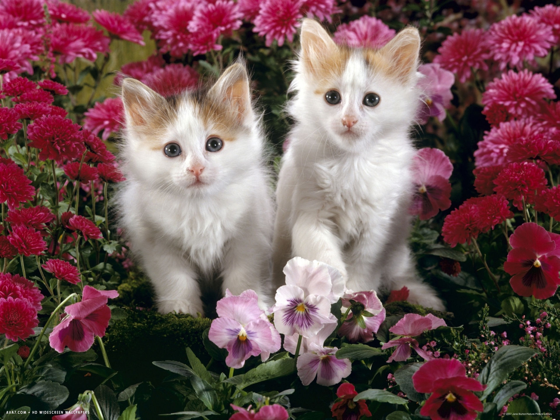 7 week white and tortoiseshell kittens among pink pansies and chrysanthemums