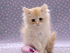 8 week fluffy cream kitten with sad expression