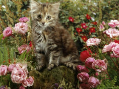 8 week long haired tabby kitten with pink roses