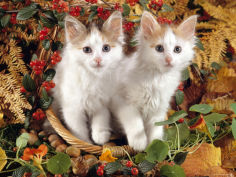 9 week white and tortoiseshell sisters and in a basket with hazelnuts