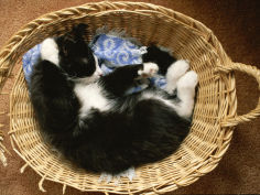 a black and white domestic short hair kitten sleeps in his basket