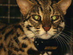 a captive leopard cat with a tracking collar
