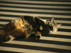 a pet cat lies in striped shadows