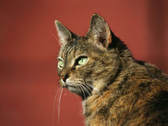 a portrait of a pet tabby cat widescreen