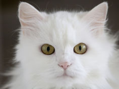 an all white domesticated house cat of mixed breed
