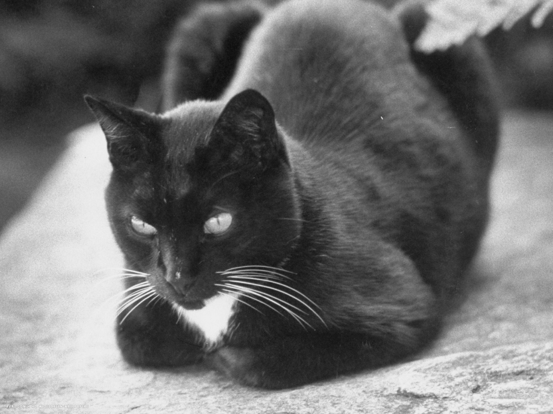 black and white pet cat