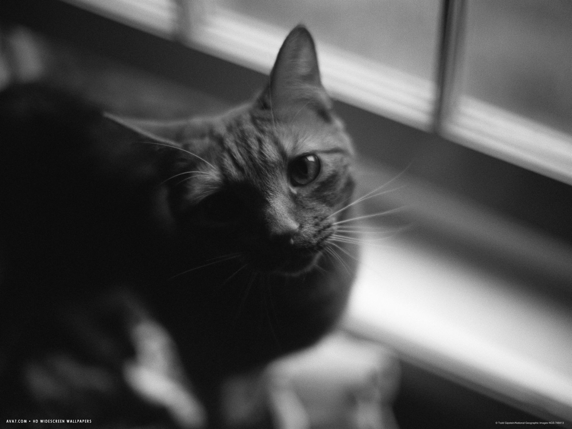 black and white photograph of orange tabby cat looking at photographer