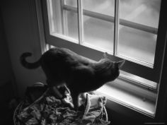 black and white photograph of orange tabby cat looking out a window