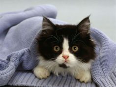 black and white semi longhaired kitten in blue pullover