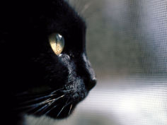 black cat looking out a window