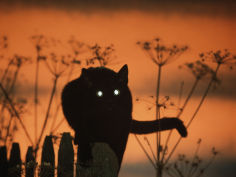 black domestic cat silhouetted against sunset sky eyes reflecting the light