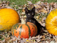 black kitten on pumpkin