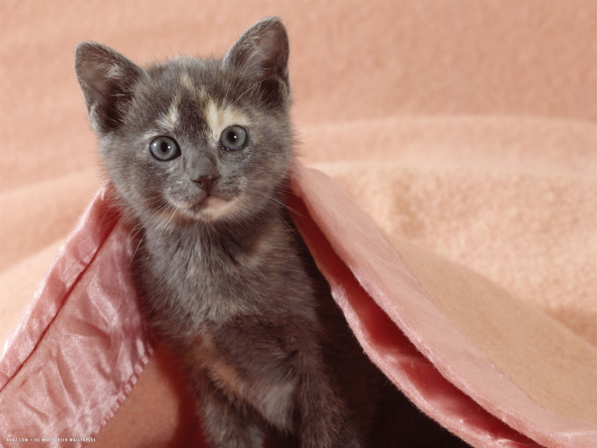 blue cream kitten in a pink blanket bedroom