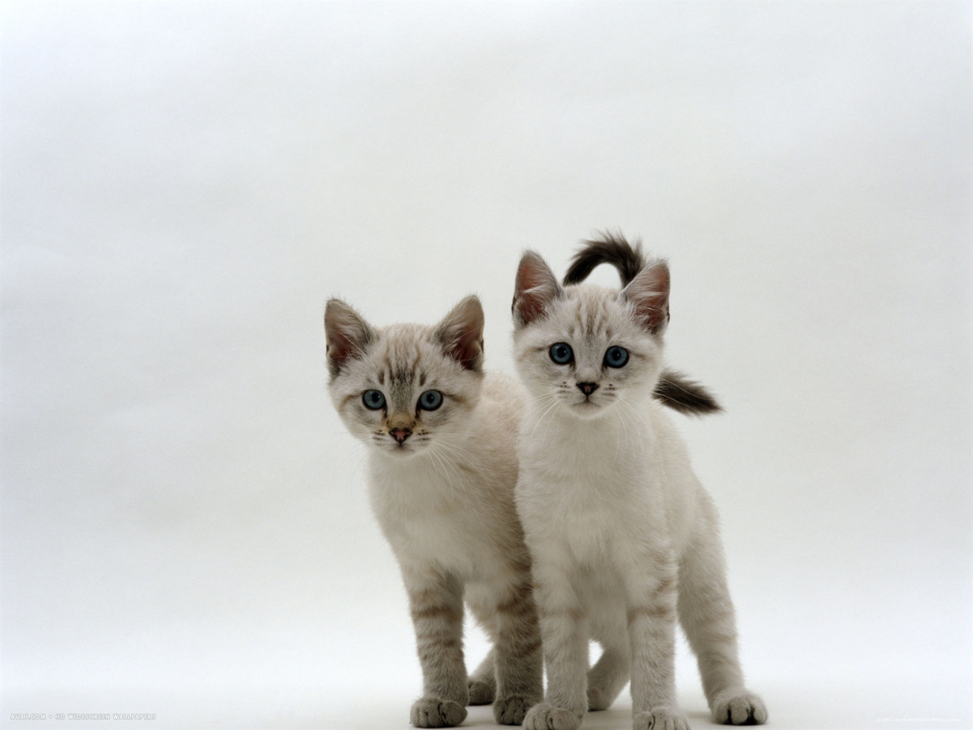blue eyed sepia snow bengal cross kittens