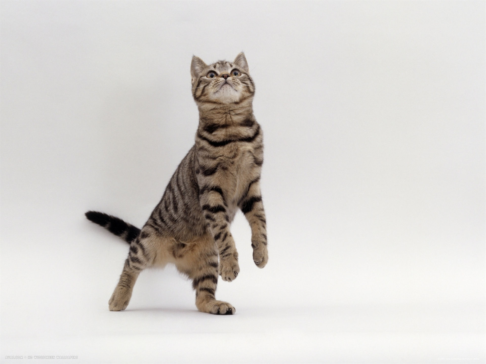 brown spotted tabby reaching up