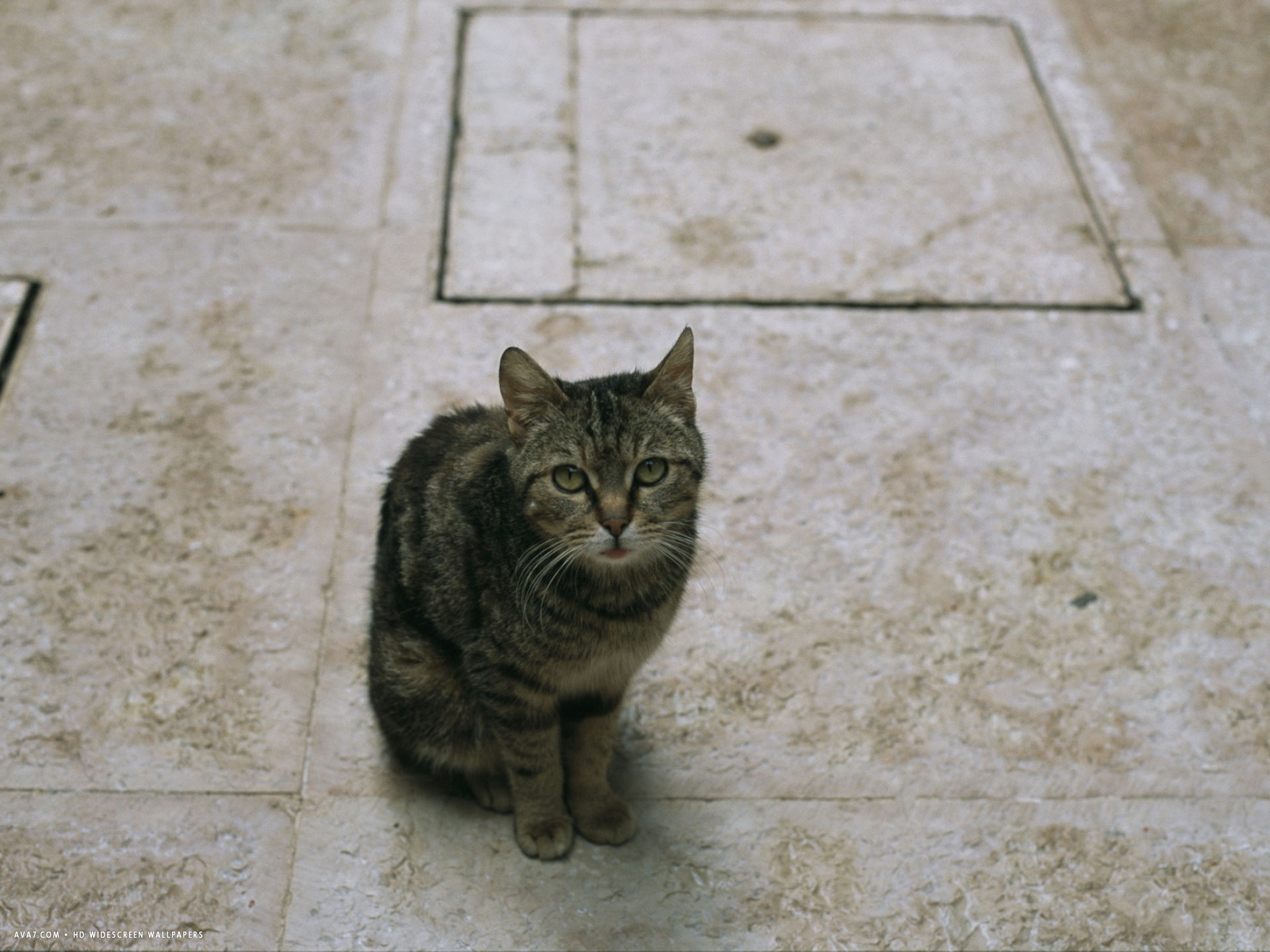 brown tabby cat sitting on tiles looking up at the camera