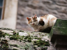 cat crouch on rocky moss covered surface