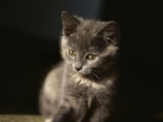 close view of a gray kitten