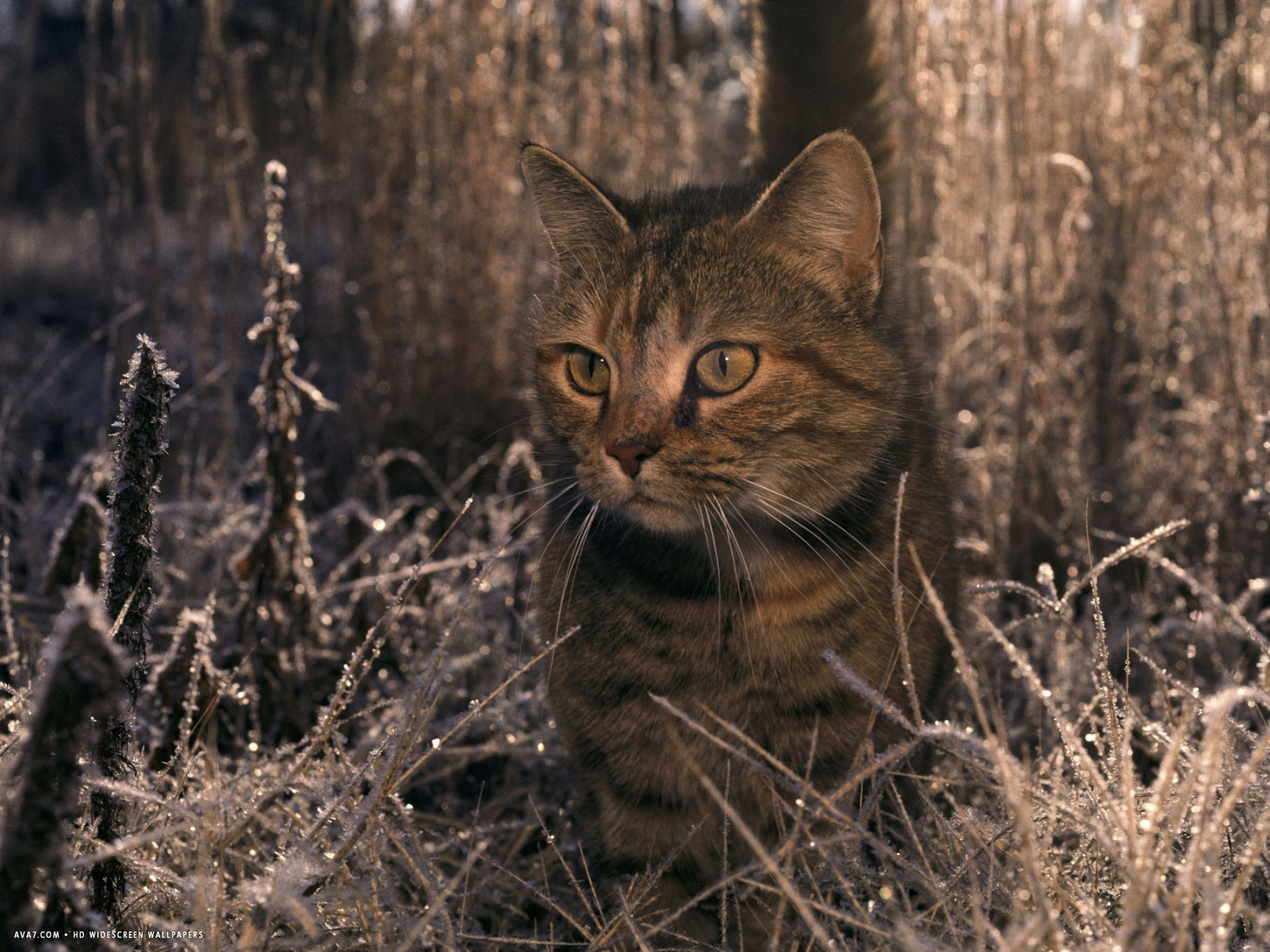close view of a tabby cat in a frost covered field