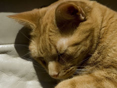 close view of orange tabby cat sleeping