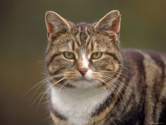 domestic cat felis catus wester ross scotland