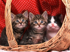 domestic kittens in basket