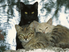 felis catus group of three tanzania