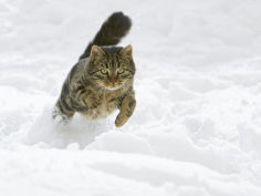 felis catus male running in snow