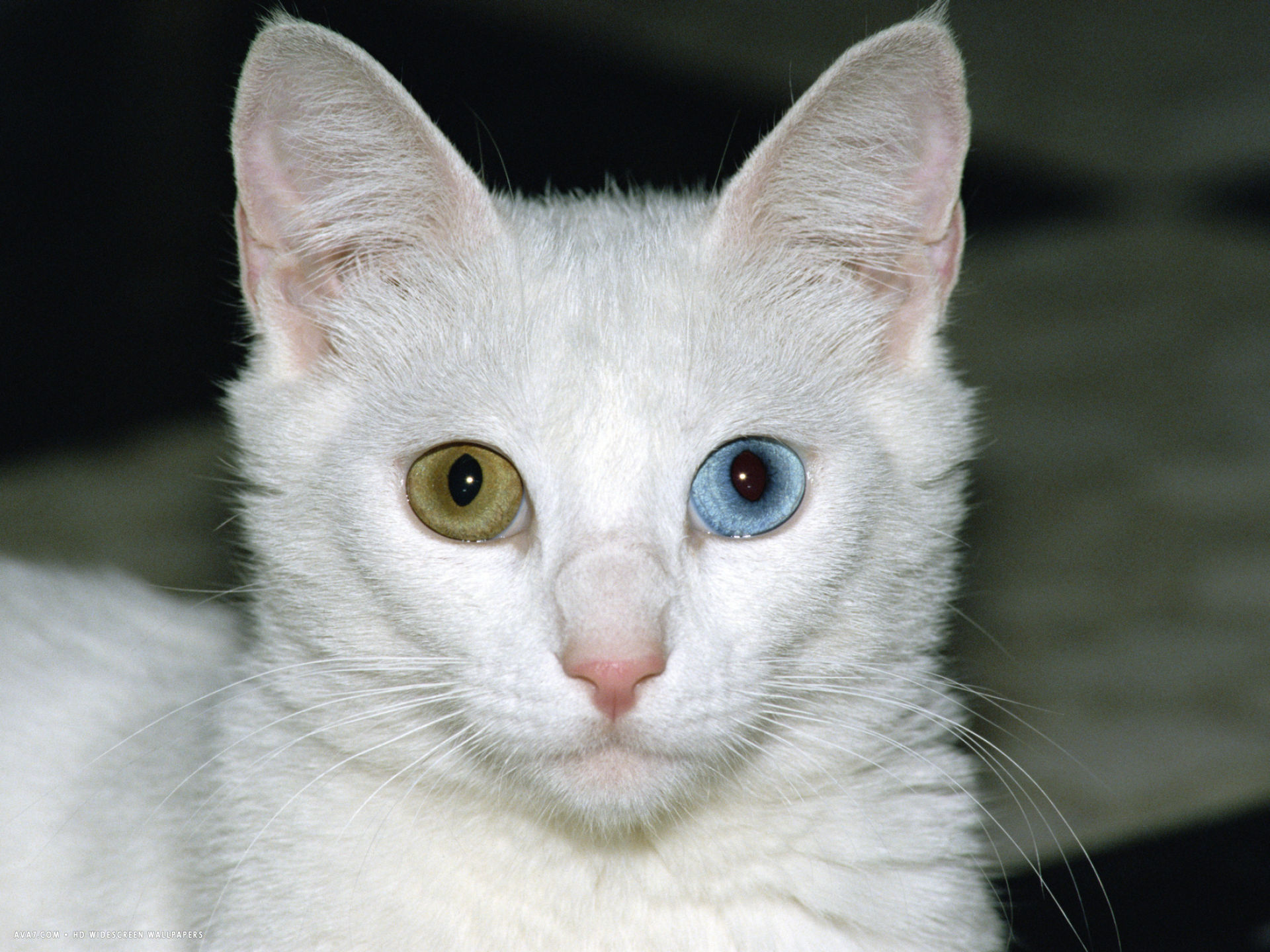 felis catus white adult cat with one blue eye and one brown eye