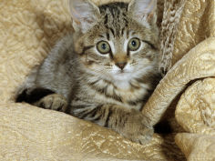 female tabby kitten on chair