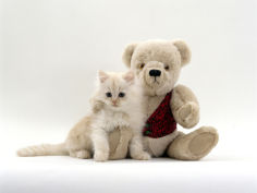 fluffy cream kitten with cream teddy bear