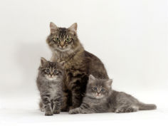 fluffy tabby with her two kittens