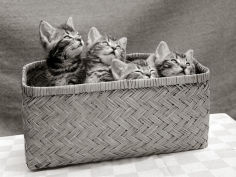 four kittens inside a wicker basket 1950s