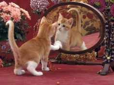 ginger and white kitten looking at reflection in mirror