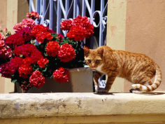 ginger cat on wall near flowers