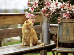 ginger cat on wooden bench with twigs of flowering magnolia