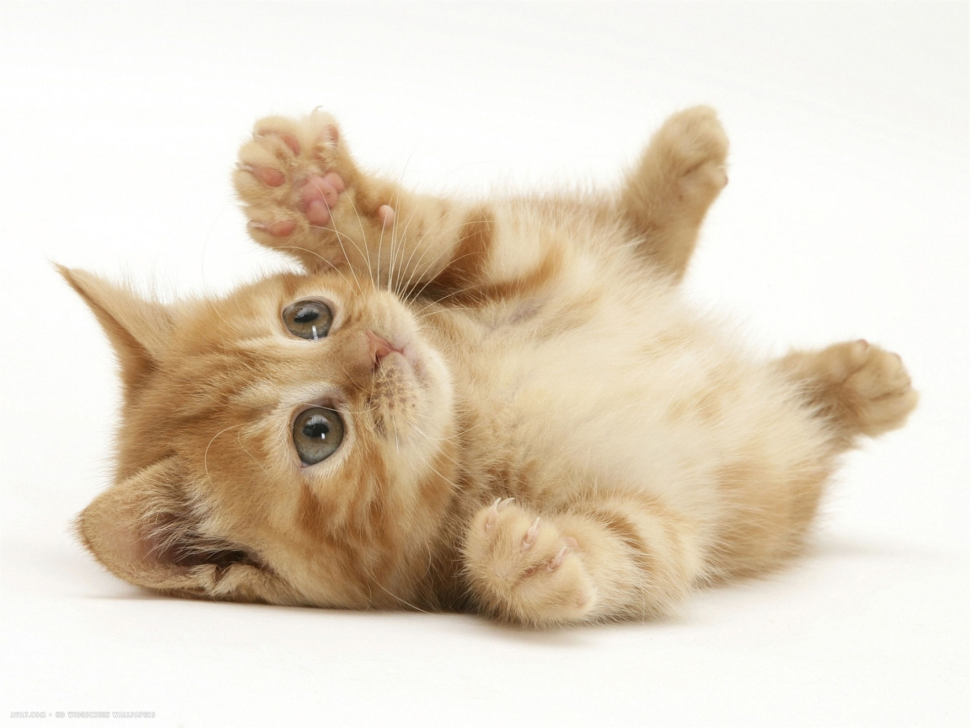ginger domestic kitten felis catus rolling on back playing