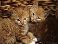 ginger male kittens sitting in a wicker basket