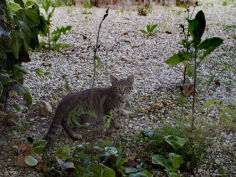 gray tabby cat in a garden asolo italy