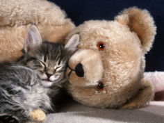 kitten asleep with teddy bear