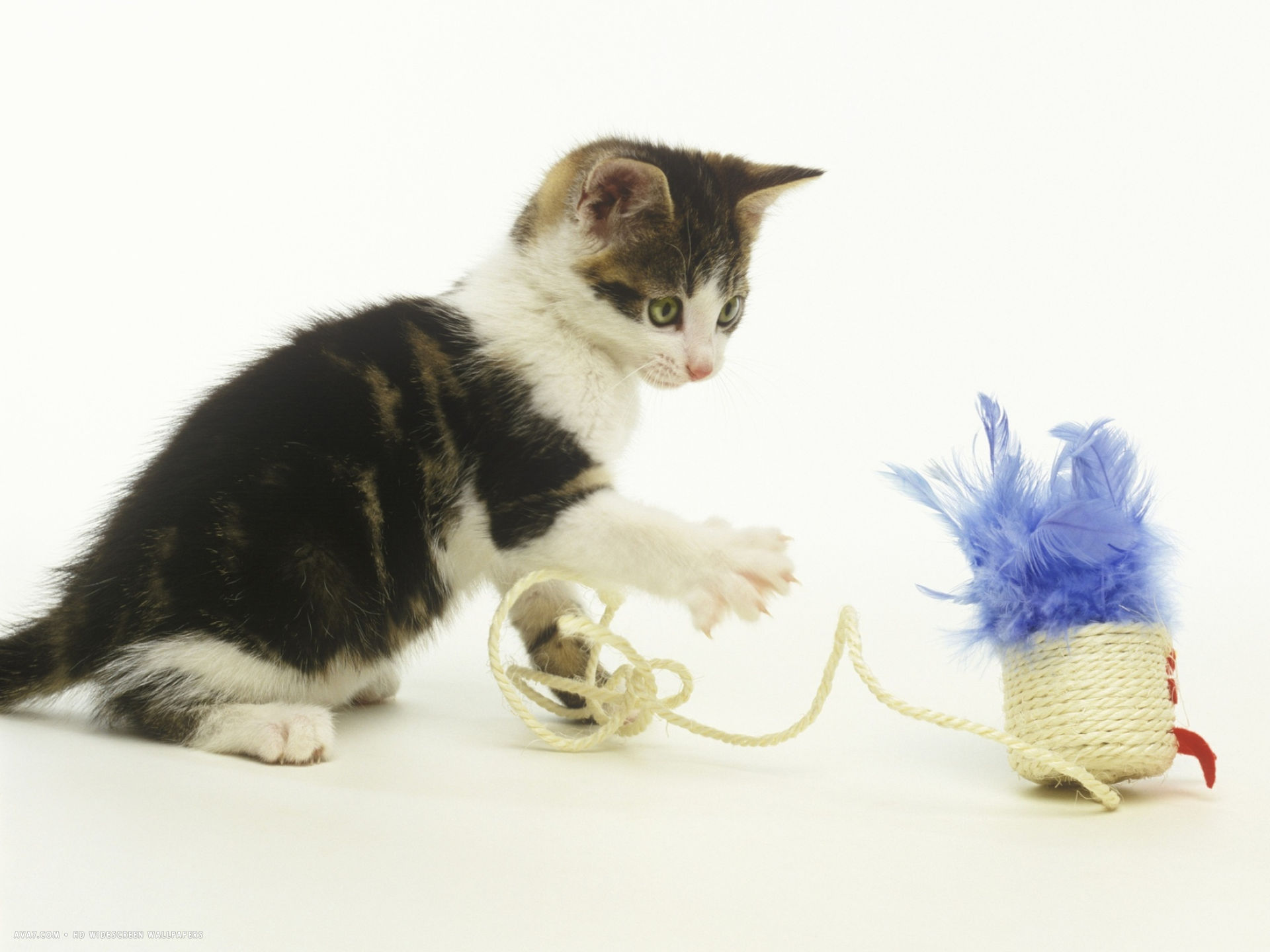 kitten playing with cat toy