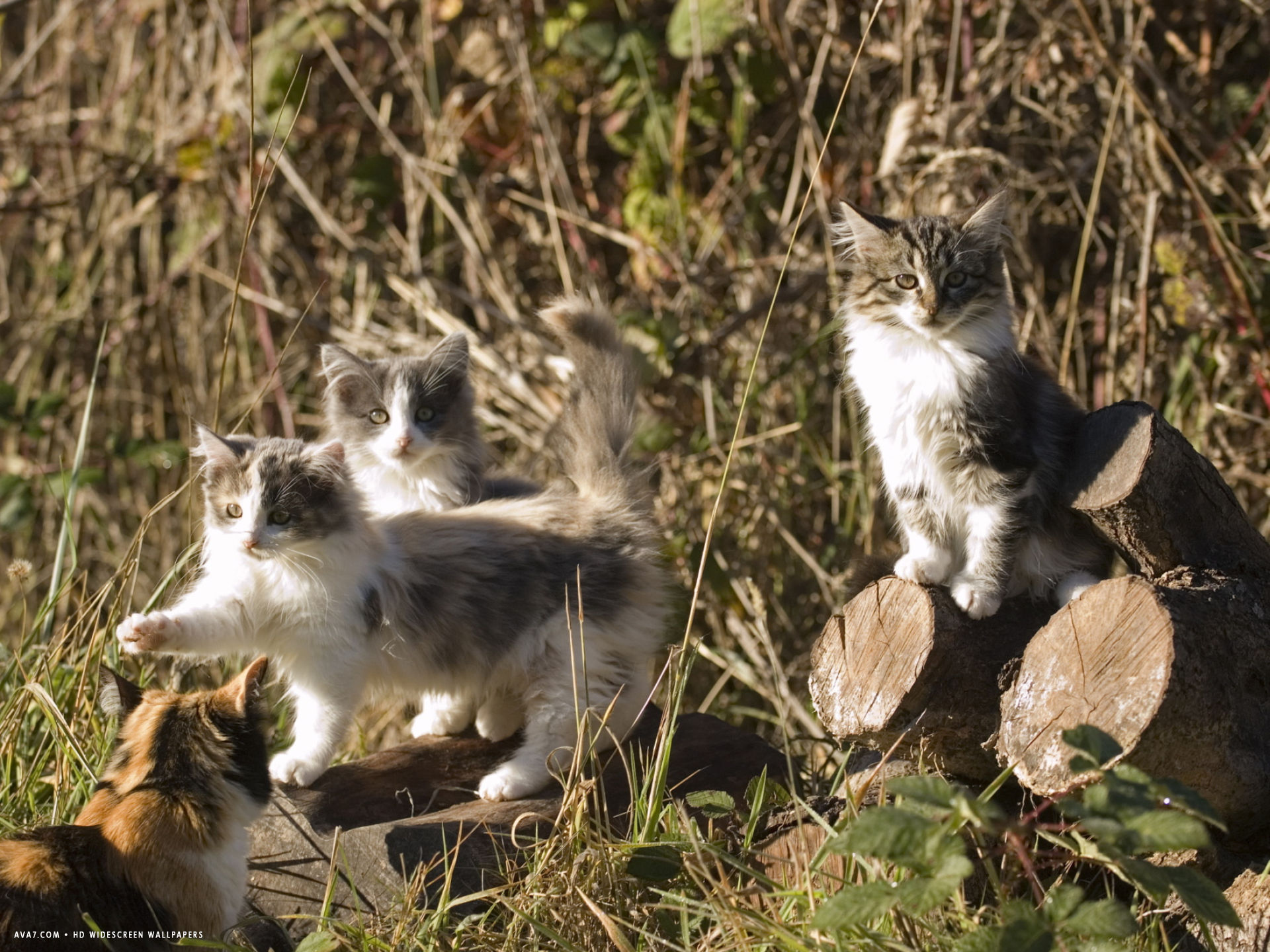kittens playing in sebastapol california