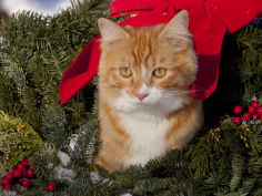orange cat in evergreen boughs