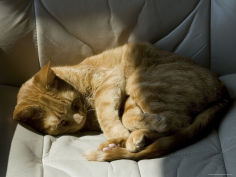orange tabby cat sleeping on a chair in the sun